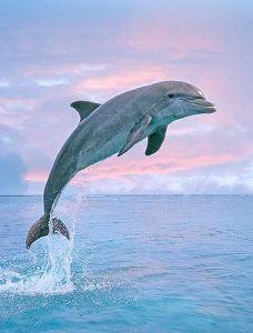 dolphin-pinterest
