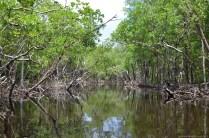 Die Mangroven in den Everglades