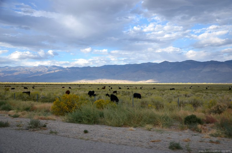 Black Angus Rinder auf der Weide