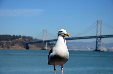 Möwe vor der Bay Bridge San Francisco