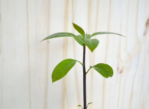 feuille-plante-avocat