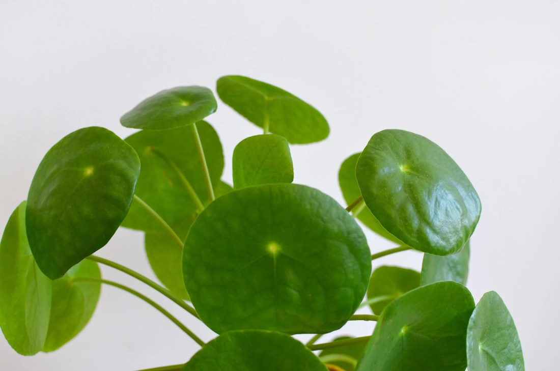 pilea-jungle-home