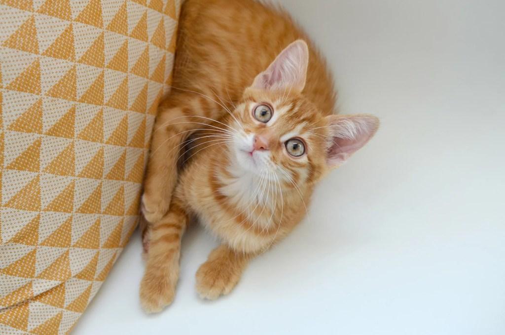 chat appartement papaye marmille 1024x678 - Tikka et Papaye, mes essentiels et conseils avec deux chats en appartement