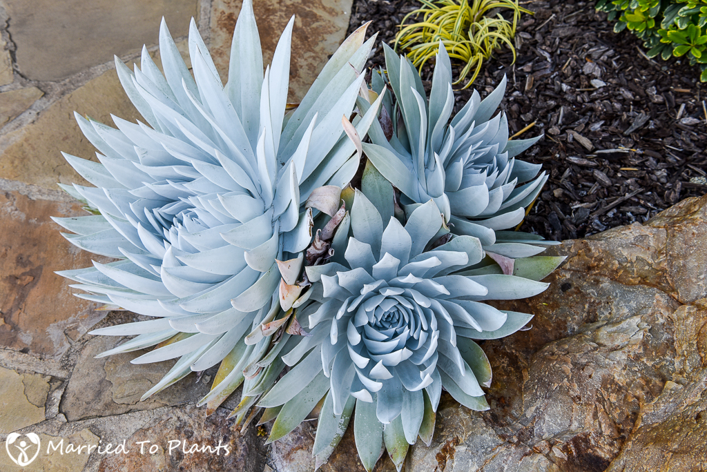 the underutilized dudleya brittonii