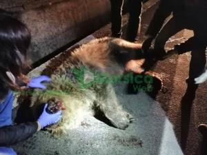 Investita e uccisa un'orsa sulla SS. 17