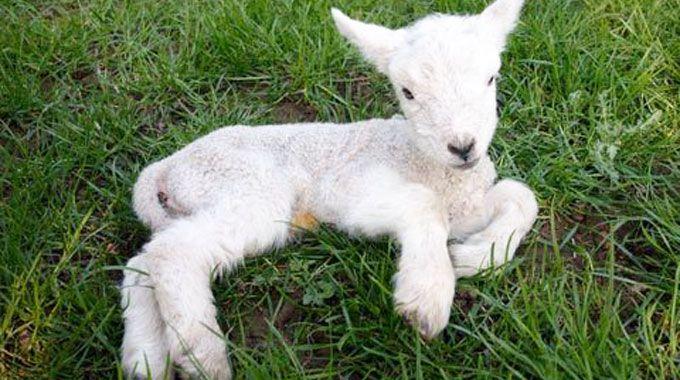 Paga la droga con un agnello vivo preso dallovile del