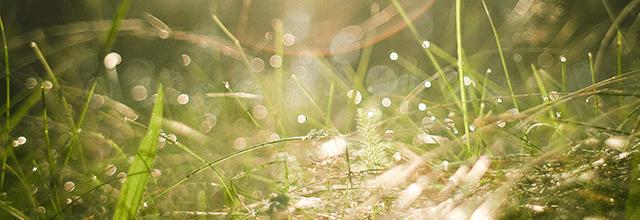 rosa na trawie krople fotografia