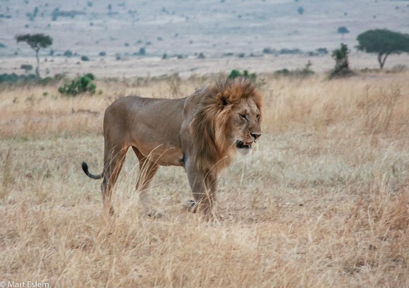 Afrika, Keňa, lev, Masai, Mara [Mart Eslem]