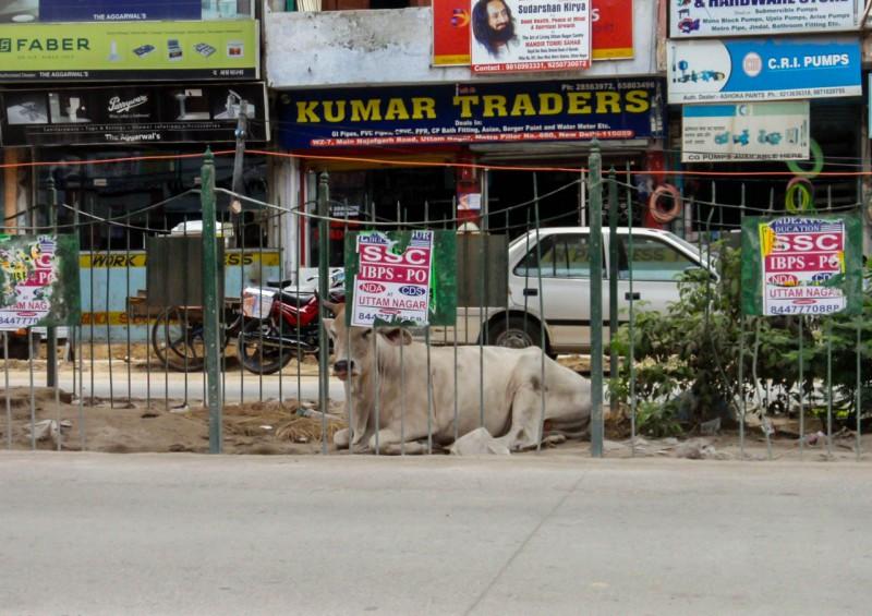 Indie, Dillí, kráva [Mart Eslem]