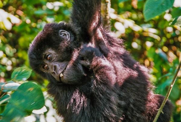 Afrika, Rwanda, gorila, mládě, beringei [Mart Eslem]
