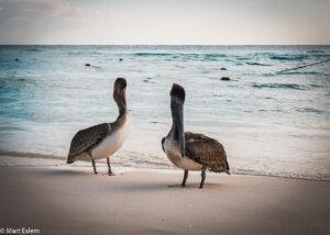 Pelikáni v Playa del Carmen, Yucatán, Mexiko (Mart Eslem)
