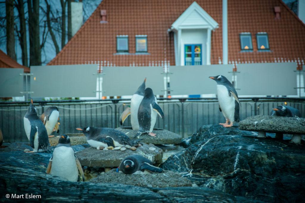 Tučnáci oslí v mořském akváriu v Bergenu (Mart Eslem)