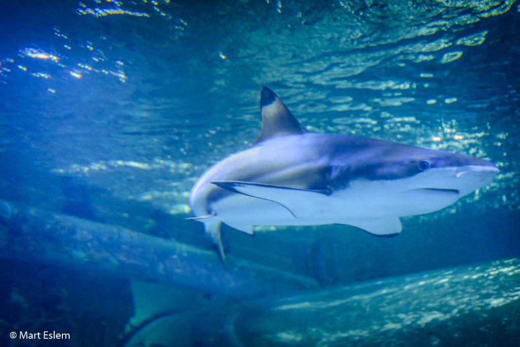 Žralok v mořském akvárii v Bergenu (Mart Eslem)