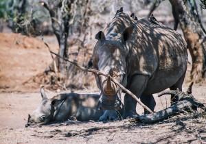 Matka a mládě nosorožce, JAR [Mart Eslem]