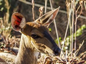 Ochočená Antilopa, JAR [Mart Eslem]