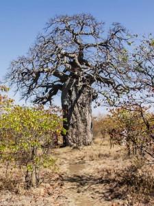 Baobab, JAR [Mart Eslem]