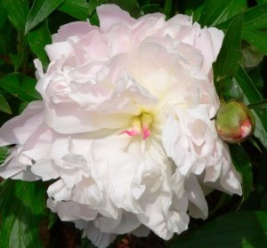 The scent of a Peony can change your outlook for the day. It was planted before we moved here, and comes back every year without any maintenance at all...
