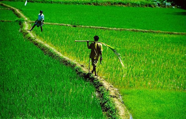 © Martina Miethig, Sri Lanka, Reisbauern bei Matale