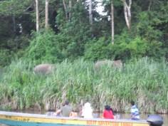 Borneo pygmy elephants