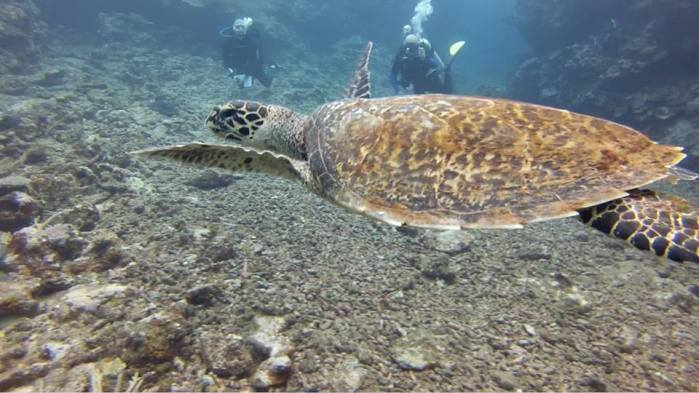 A turtle gracefully gliding past us... Photo by my fellow diver Chris Lee