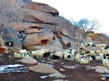Goats and sheep, owned by a nomadic family, preparing for the night.
