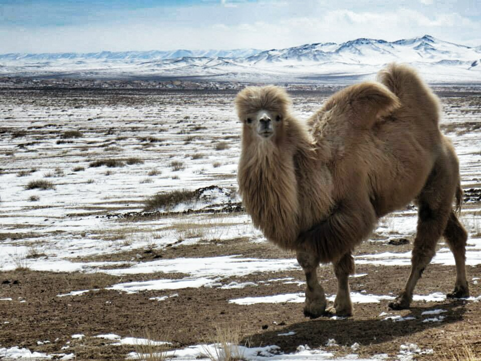 A shaggy blonde camel, the boss male of the herd, roaming the Mongolian steppe.