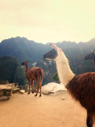 Llamas roam free among the ruins