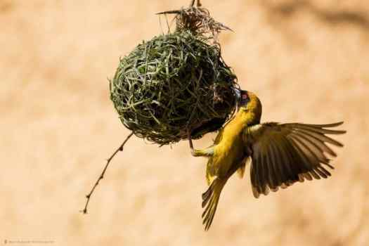 Weaver Bird at Nest