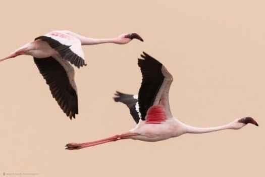 Flamingoes against Dune 100% Crop