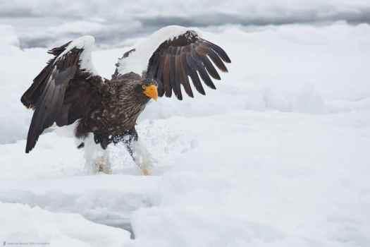 Snow Kickin' Eagle