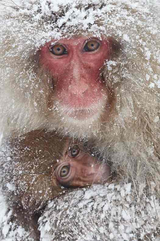 Snow Monkey Cuddle