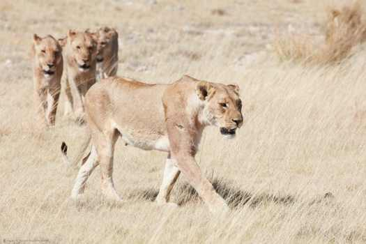 Lioness Leading the Way