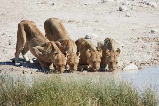 Lions Drinking at Waterhole
