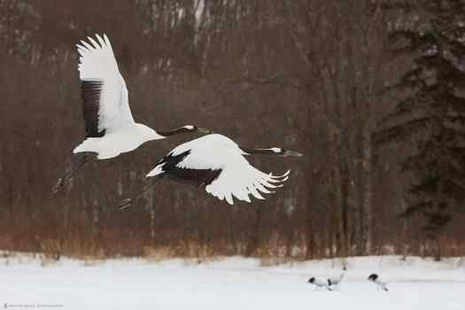 Two Crane's In Flight