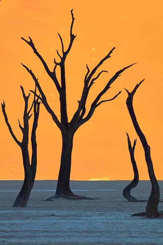 Camelthorn Tree Cluster