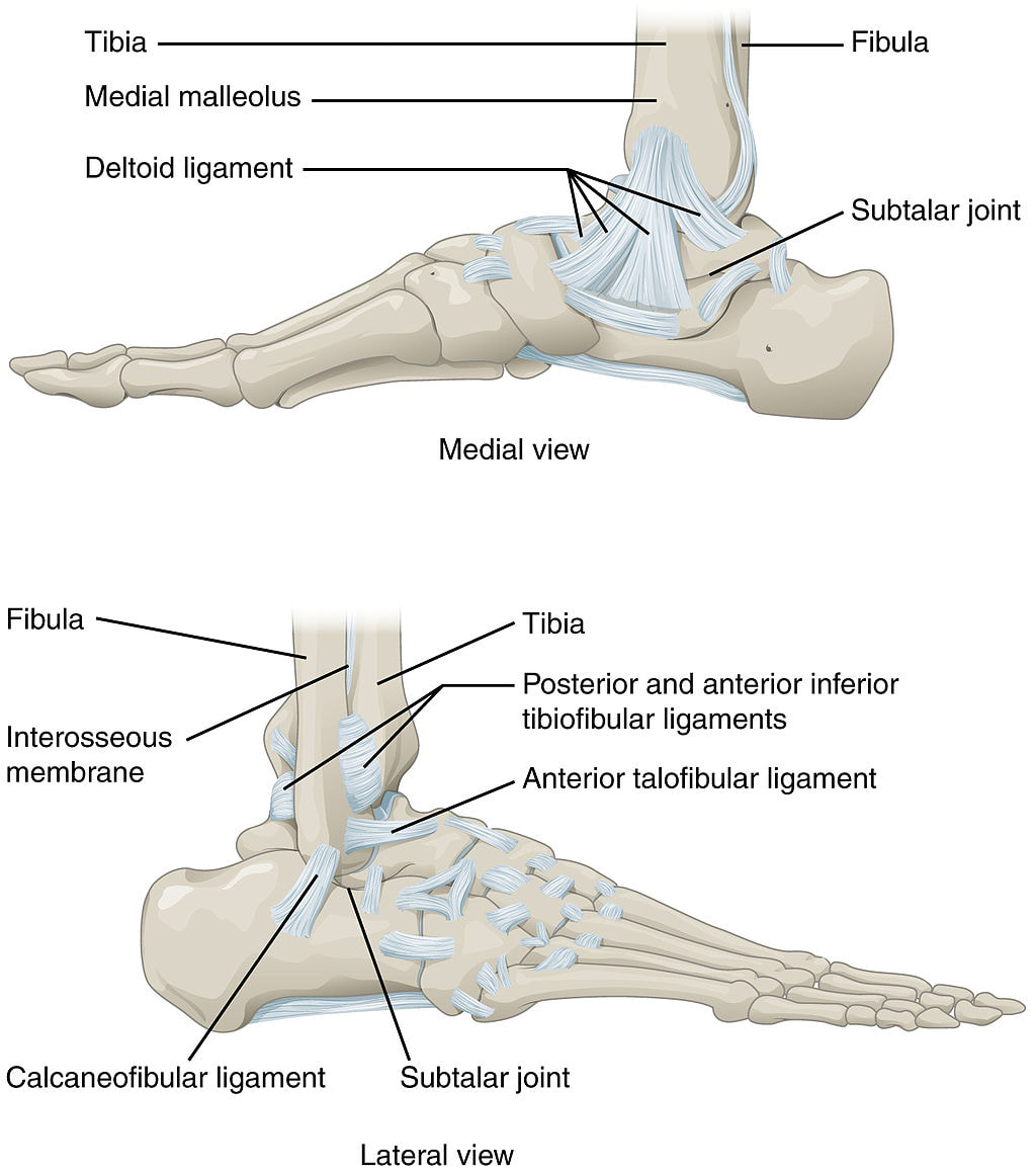 The Ankle Joint Structure Movements Muscles