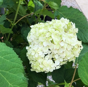 Seaside Serenade Bar Harbor Hydrangea - Martin's Home & Garden - Murfreesboro TN