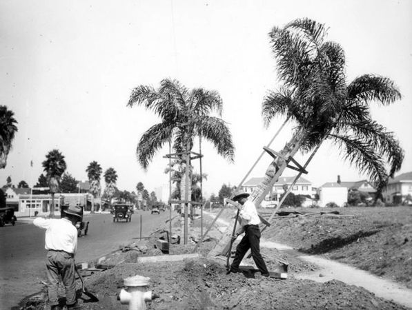 Workers plant palm trees on Wilshire Boulevard between Western and Wilton, 1926