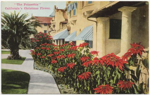 The Poinsettia, California's Christmas Flower, circa 1920s, from Newman Postcard Co. in Los Angeles taken at the Hotel Hollywood