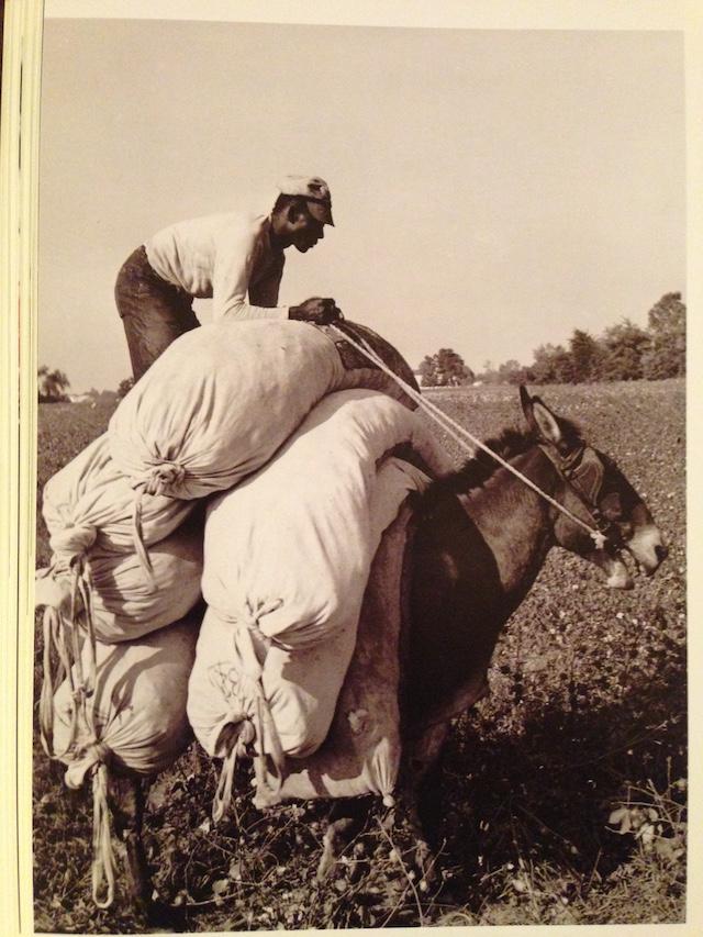 Man, mule, cotton
