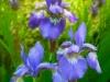 Siberian Iris Trio - Mixed Media Painting - Mary Ahern