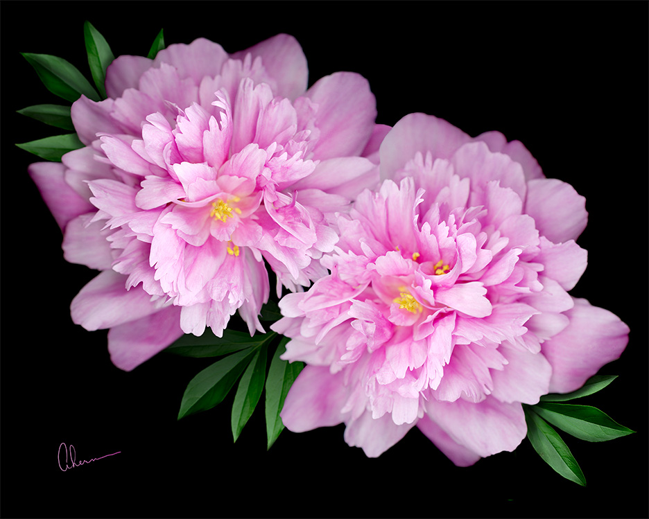 Kansas Peonies by the artist, Mary Ahern. Art print available in various sizes on canvas, fine art paper, metal or acrylic.