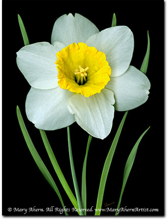 Single White Daffodil by Mary Ahern