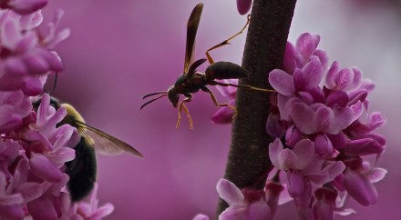 Bee and wasp working together on the cherry blossoms. All Rights Reserved Mary Anne Worrell Photography