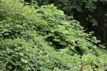 Invasive vines create a dense thicket along Poplar Avenue in Takoma Park. Photo by Danielle E. Gaines.