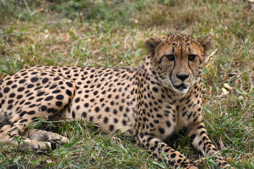 cheetah the maryland zoo