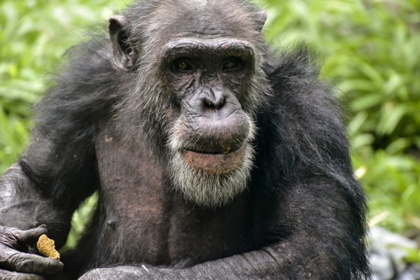 Chimpanzee The Maryland Zoo