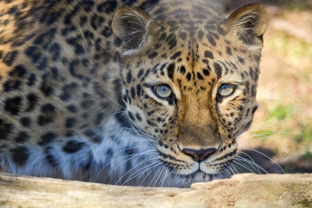 leopard keeper chat the