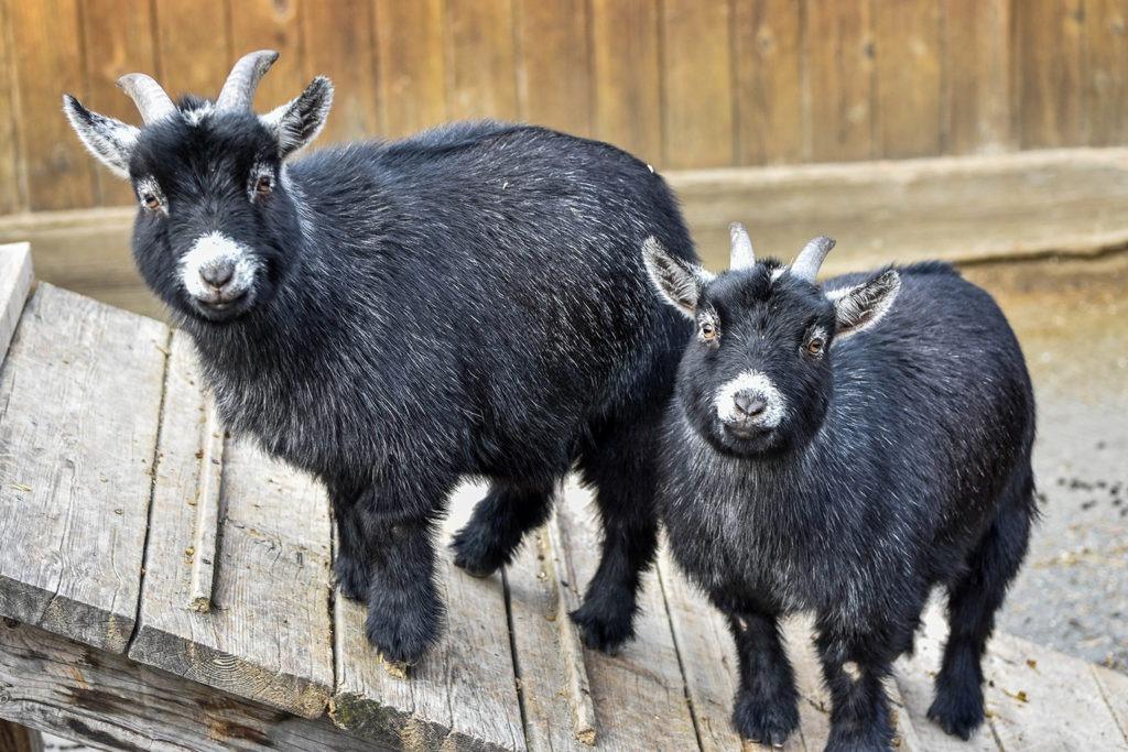 pygmy goat the maryland