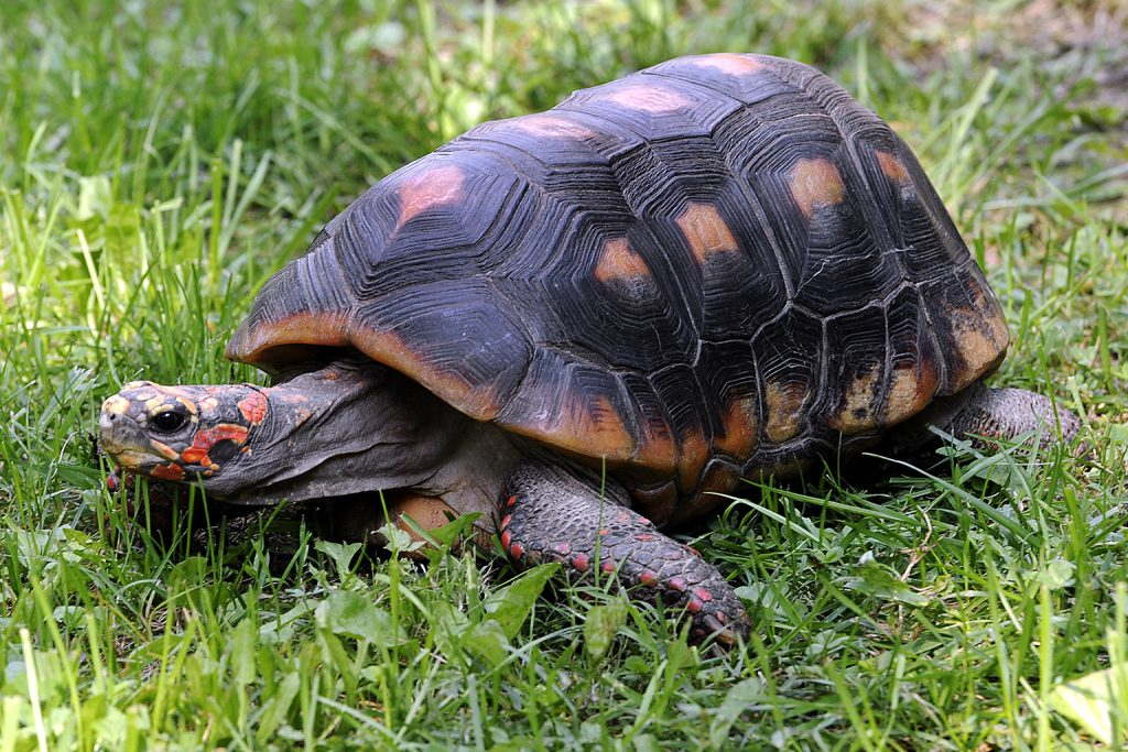 red footed tortoise the